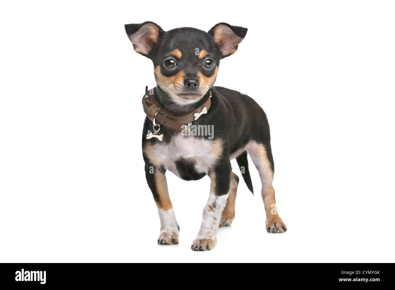 Chihuahuas pictures of black adult