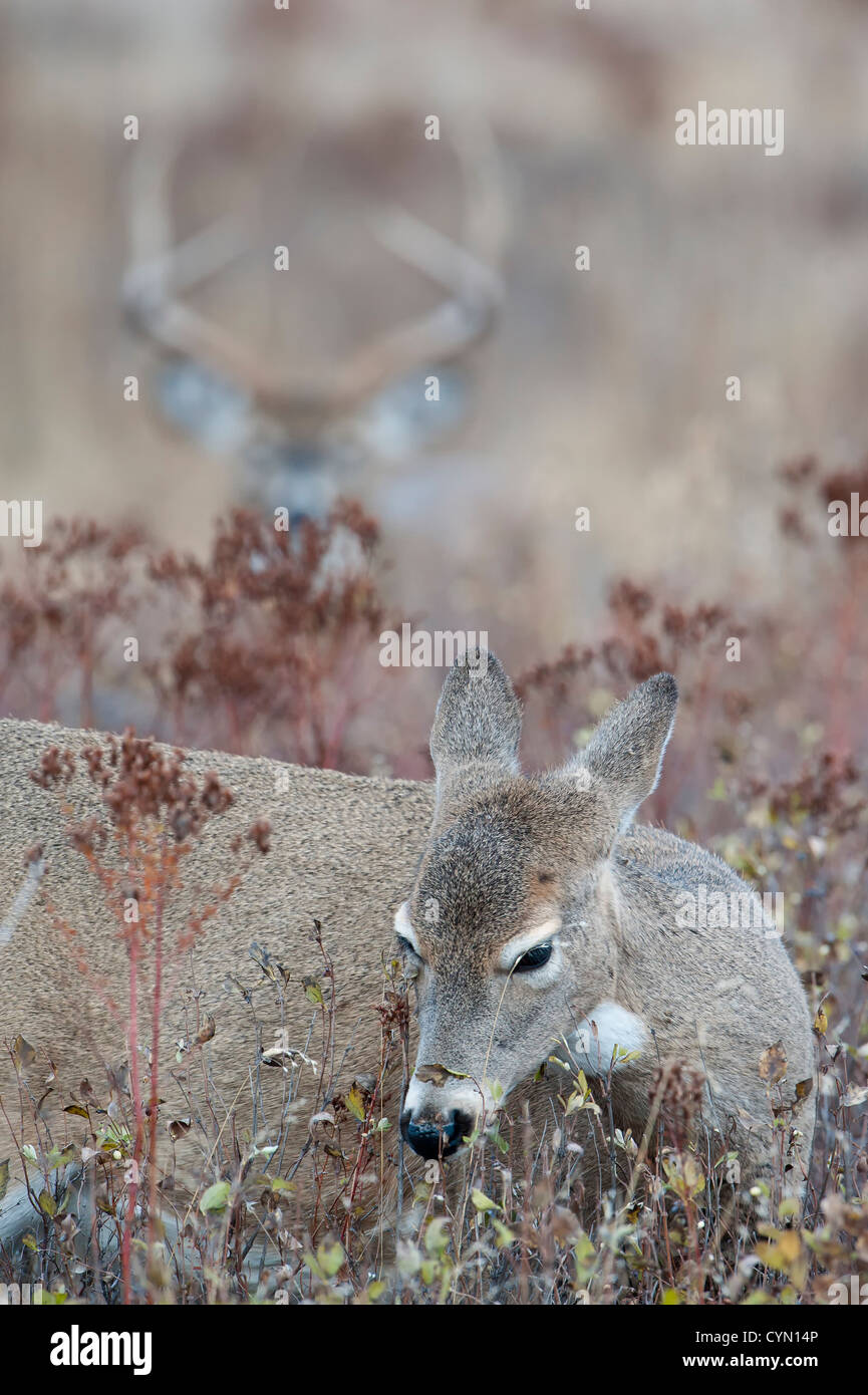 A browsing doe is carefully scrutinized by a nearby buck during the whitetail deer rut, Western Montana Stock Photo