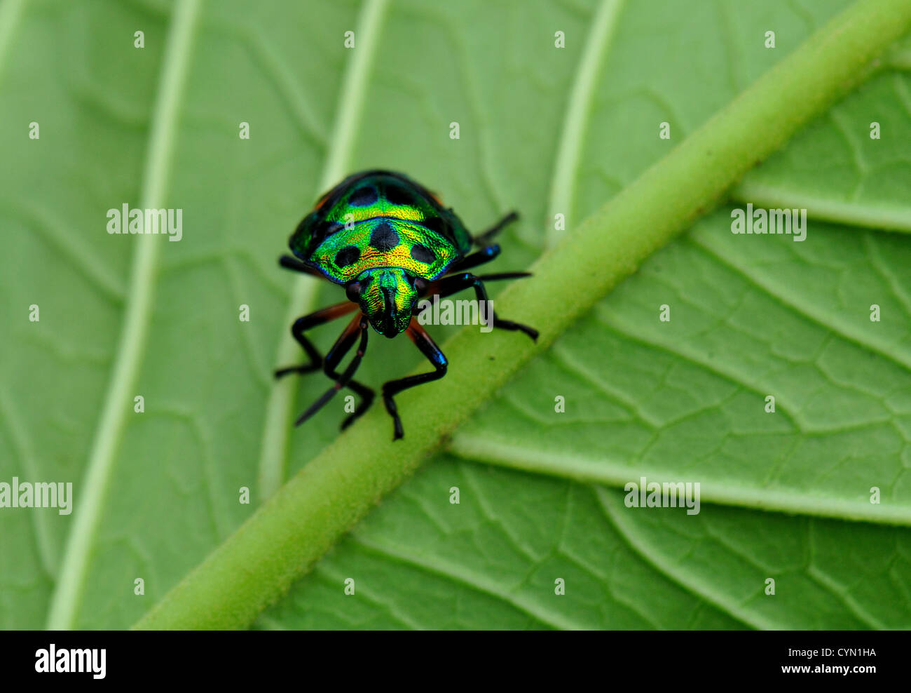 Jewel bug - Stock Image