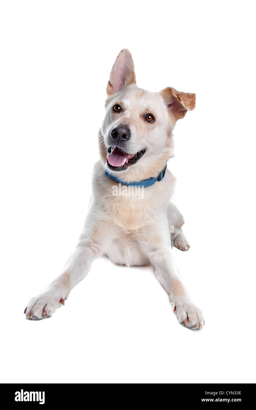 mixed breed dog in front of a white background - Stock Image