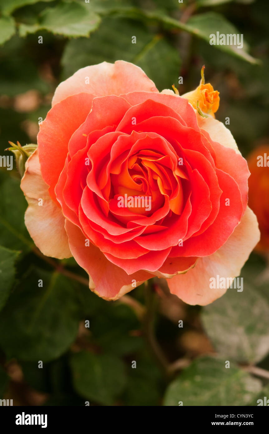 how to get a rose bush to bloom