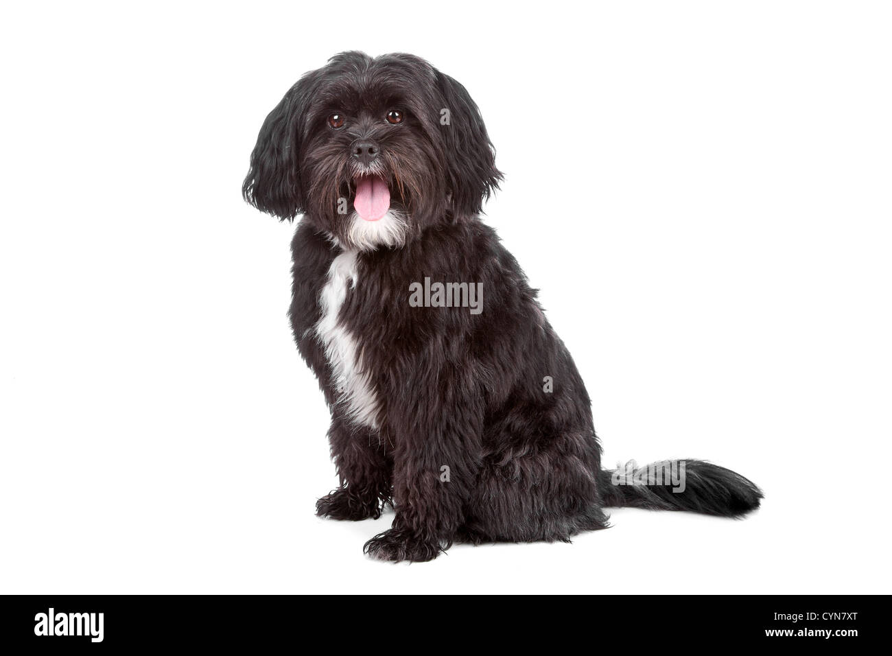 Mixed Breed Dog Tibetan Terrier And Shih Tzu Isolated On A White