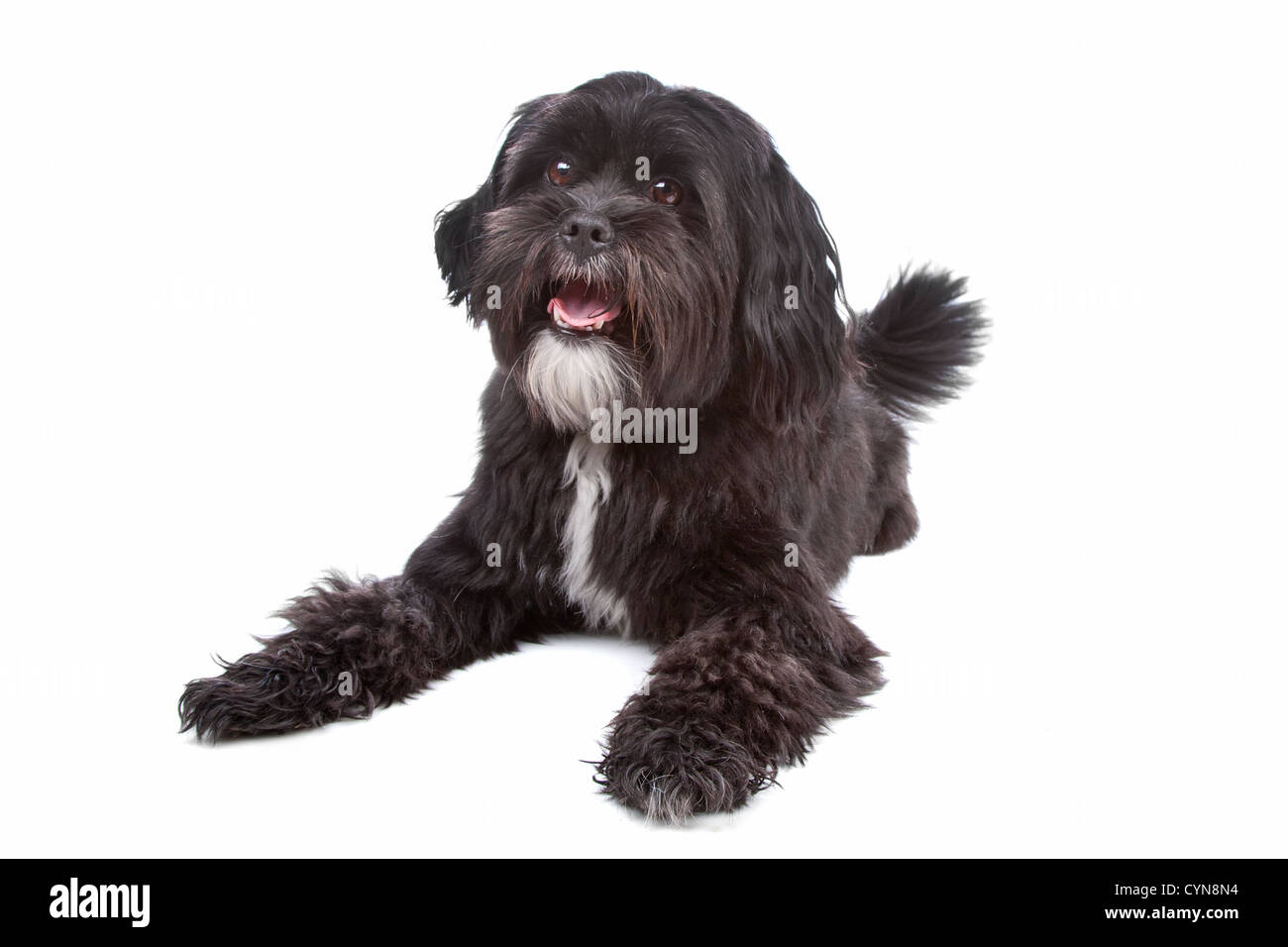 Mixed Breed Dog Tibetan Terrier And Shih Tzu Lying Isolated On A