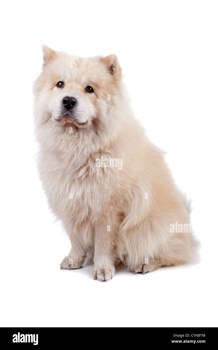 Cute mixed breed dog Chow-Chow and Samoyed sitting, isolated on a white background - Stock Image
