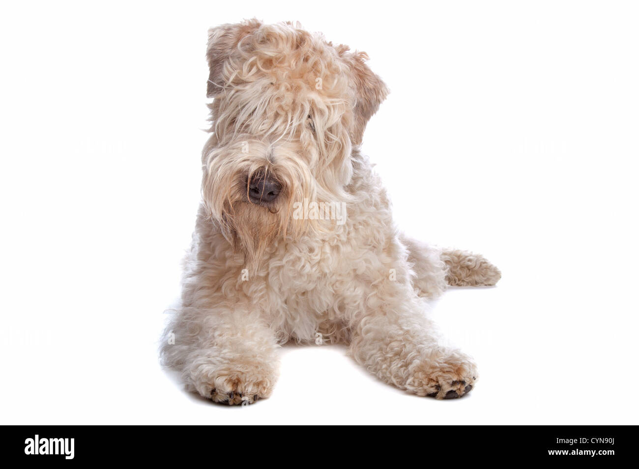 Contemporary Wirehaired Terrier Mix Sizes Composition - Electrical ...