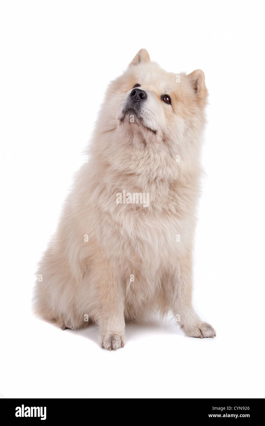 Cute mixed breed dog Chow-Chow and Samoyed sitting and looking, isolated on a white background - Stock Image