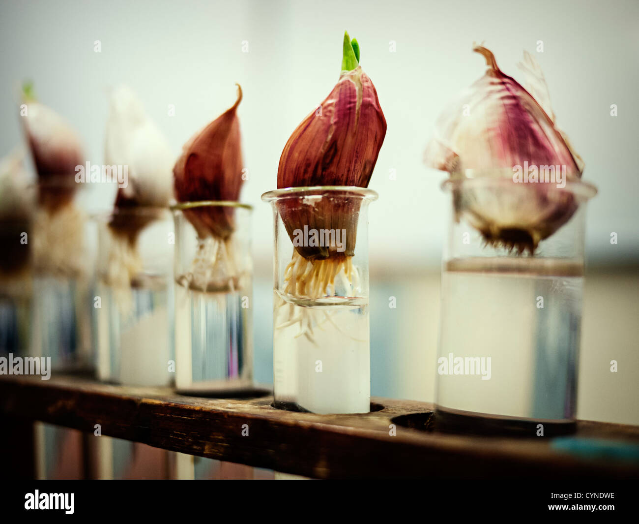 Garlic bulbs growing roots in test tubes - Stock Image