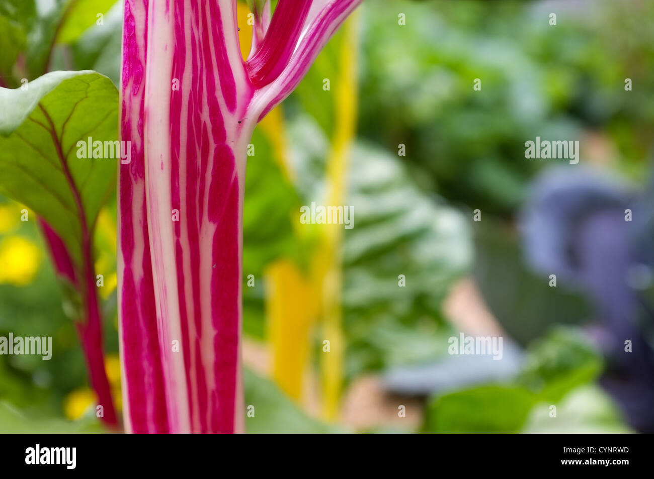 Close up of purple / yellow Swiss chard Commonly known as silverbeet, perpetual spinach, spinach beet, crab beet - Stock Image