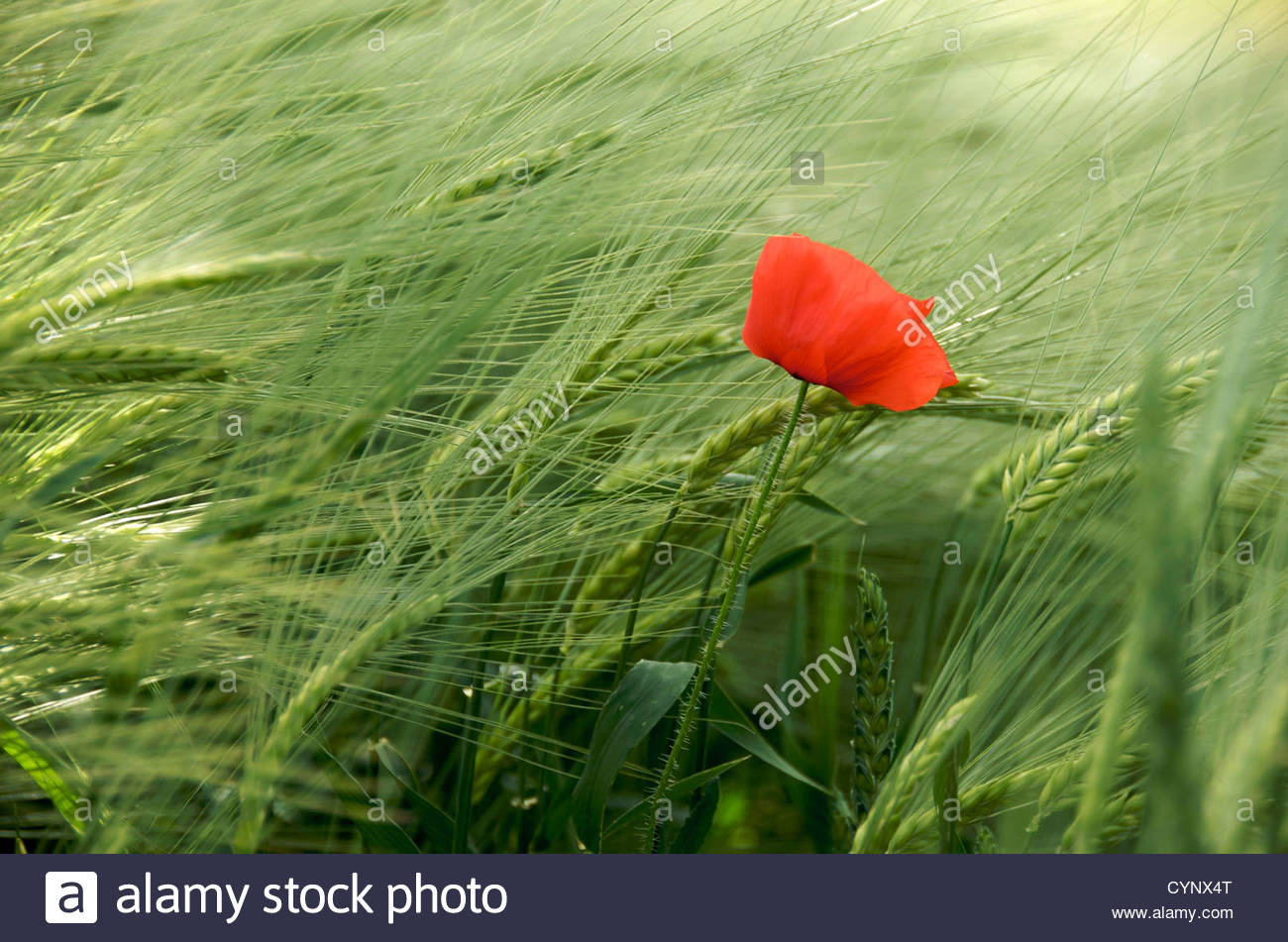 Single red poppy in field - Stock Image
