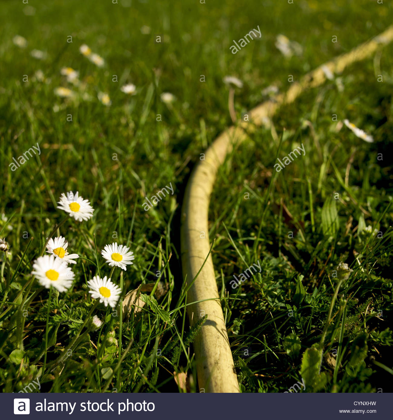 Yellow hosepipe on grass with daisies - Stock Image