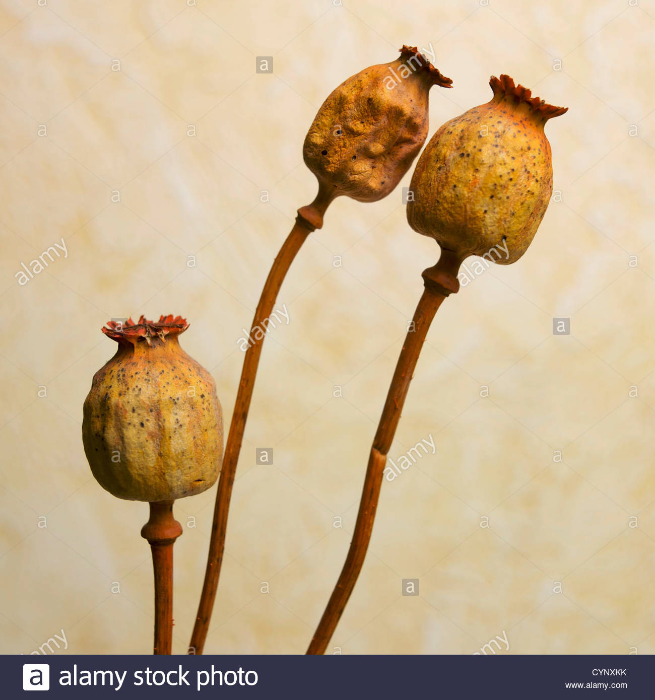 Opium Poppy Flowers And Seed Heads Stock Photos Opium Poppy