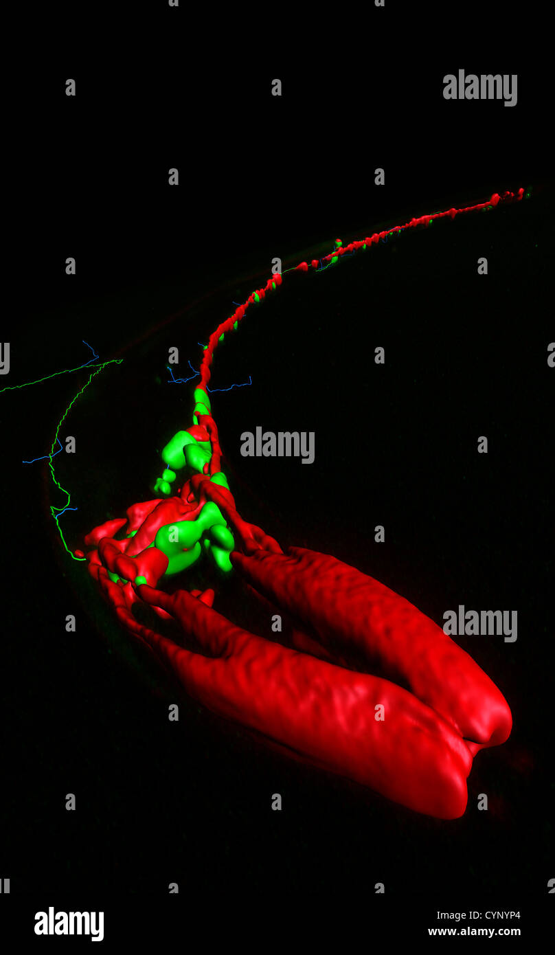 Neurons and muscles of Caenorhabditis elegans, a free-living transparent nematode (roundworm), about 1 mm in length. - Stock Image