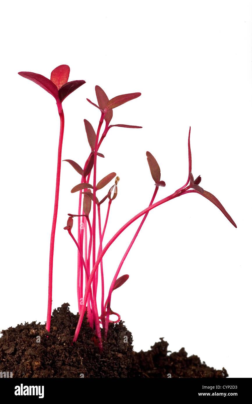 amaranth seedling macro isolated on white - Stock Image