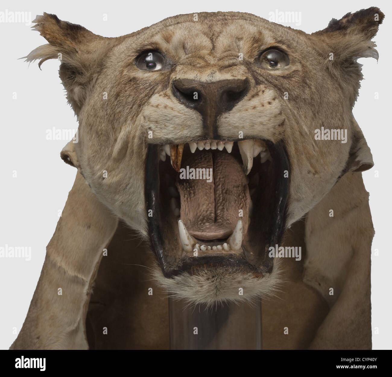 A skin of a lioness, (Panthera leo), Africa, 20th century. Taxidermically preserved, lifelike head. The fur with - Stock Image