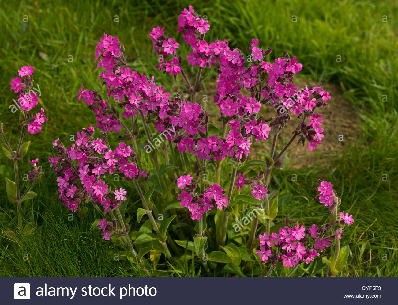 Pink flowers of red campion growing at troup head cliffs on the pink flowers of red campion growing at troup head cliffs on the aberdeenshire coast mightylinksfo
