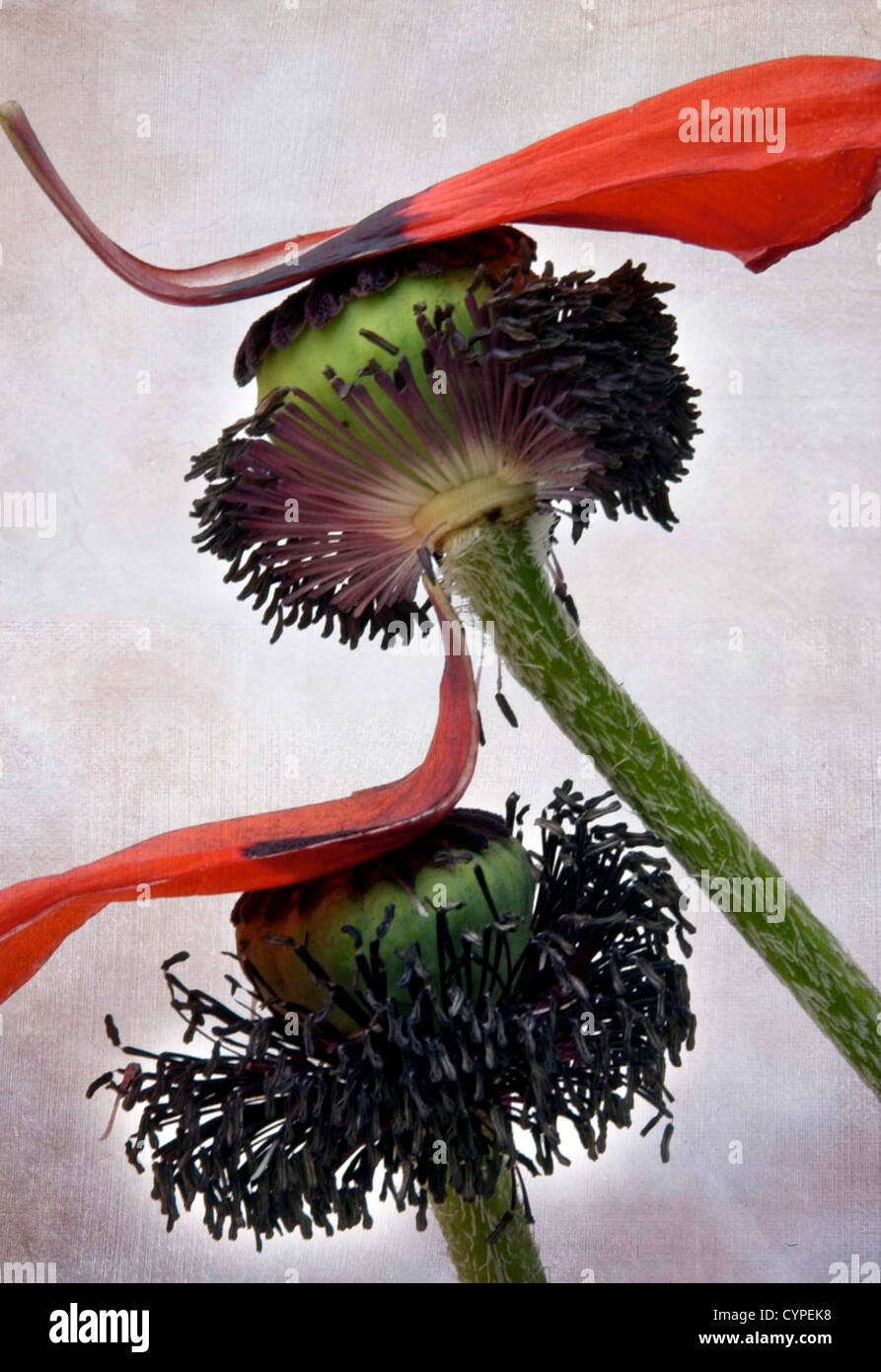 Dying flowers - Stock Image
