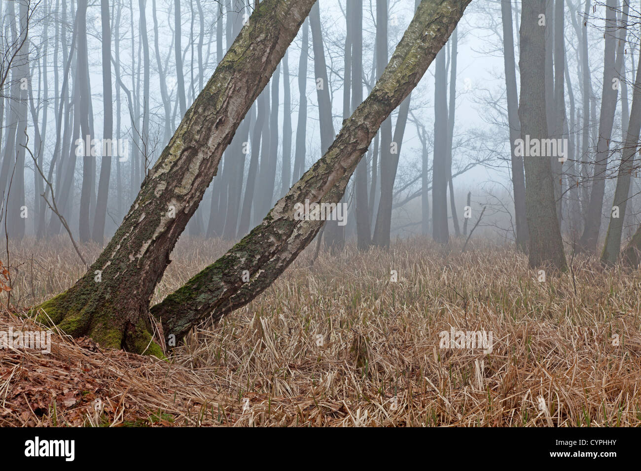 Forest in fog Stock Photo