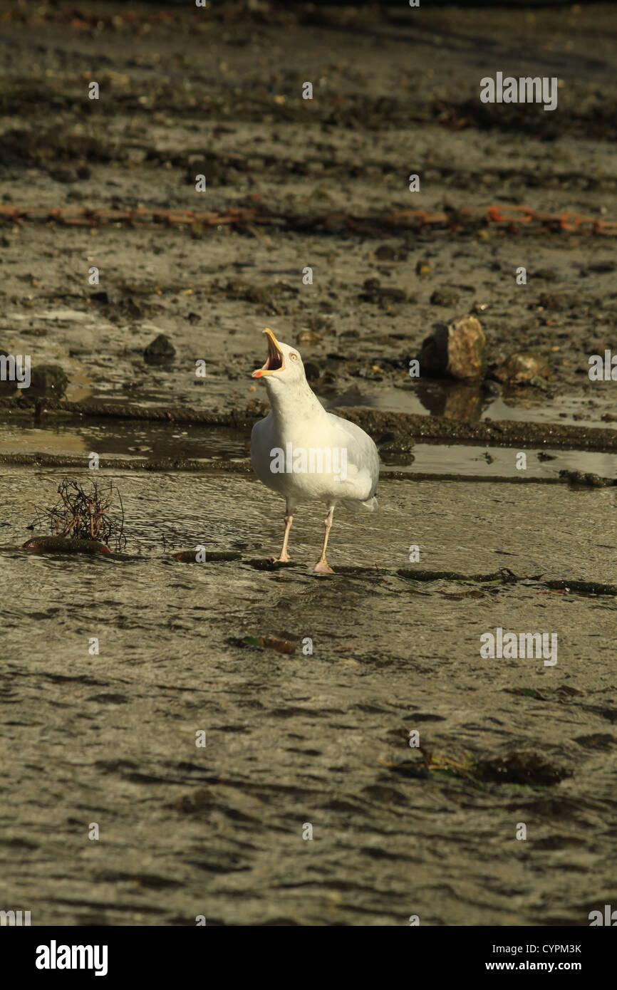 Seagull squawking Stock Photo
