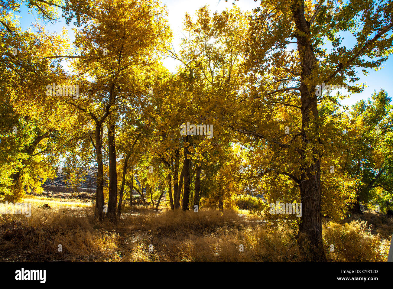Fall Color in a grove of trees on a sunny day in Northern Nevada in the fall of 2012 along the Truckee river - Stock Image