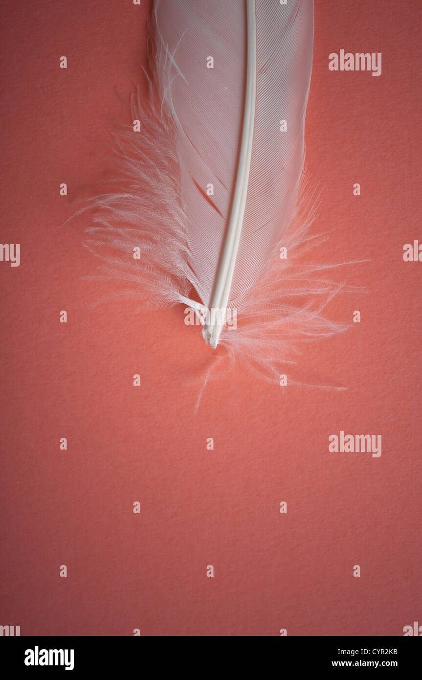 white feather on pink background Stock Photo