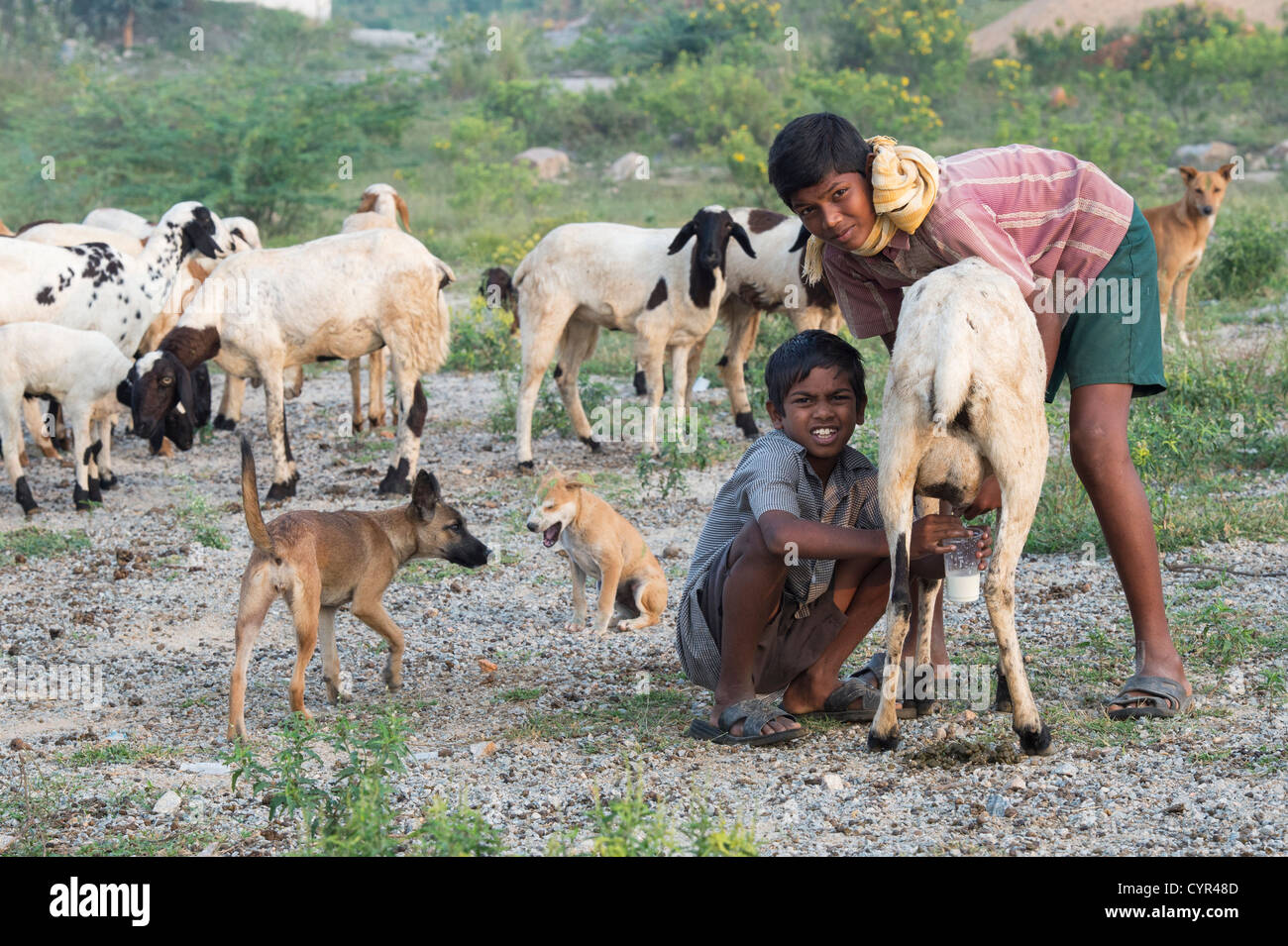 Indian goat herder boys milking goats in the indian