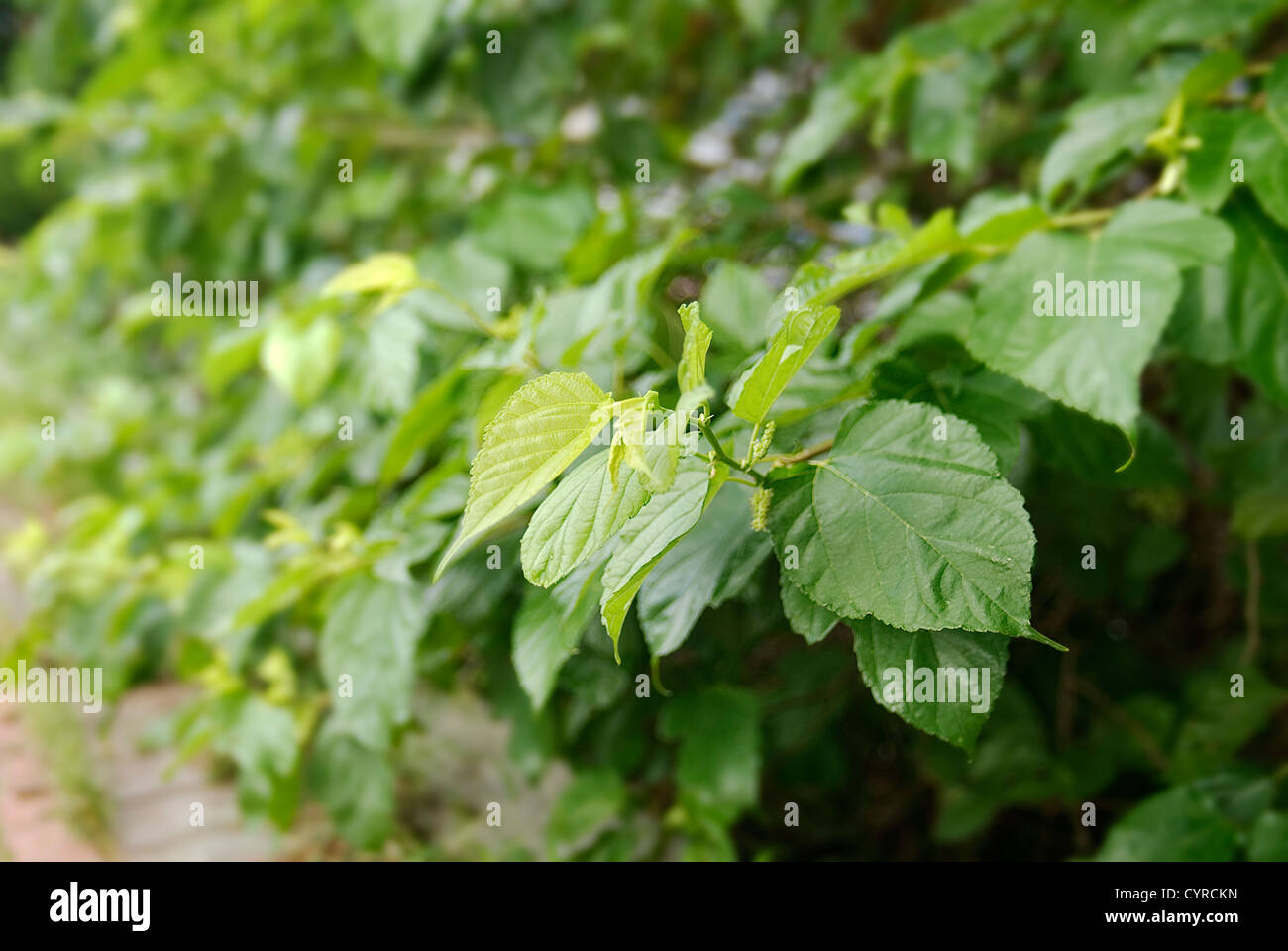Taiwan is like spring all year round, every day people feel good when see green leaves. - Stock Image