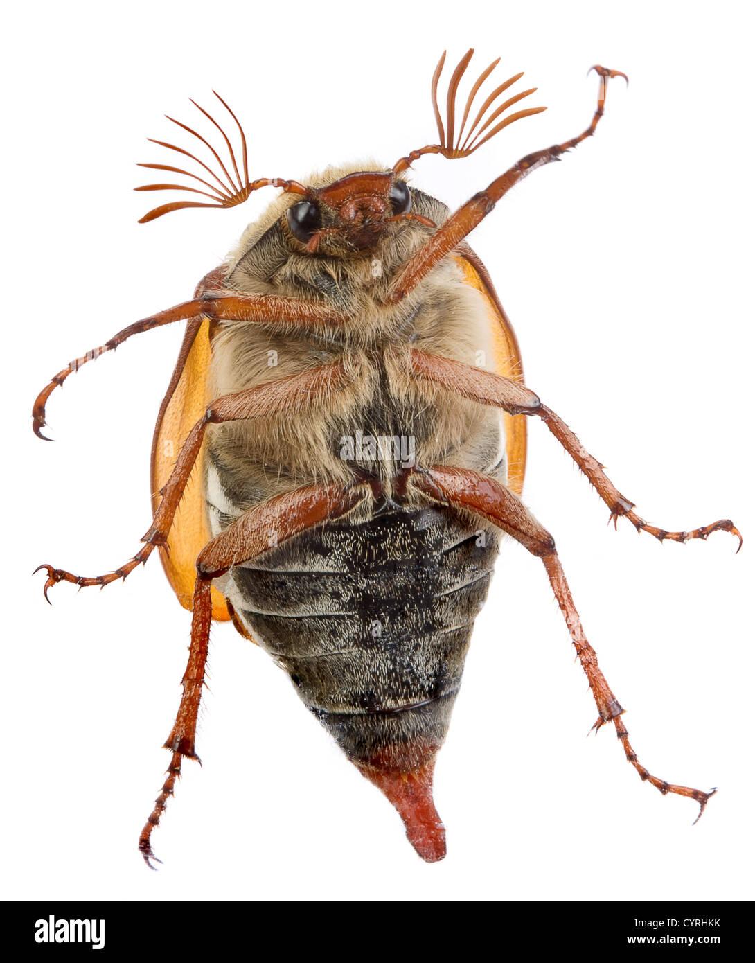 Maybug beetle crawling on a glass pane Stock Photo