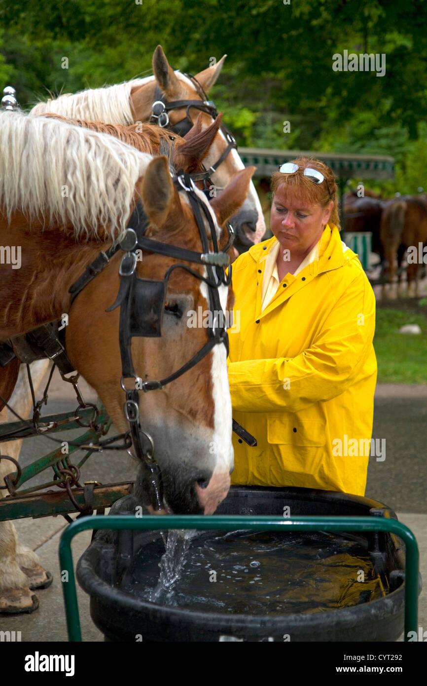 Draft horses being watered on Mackinac Island located in Lake Huron, Michigan, USA. - Stock Image