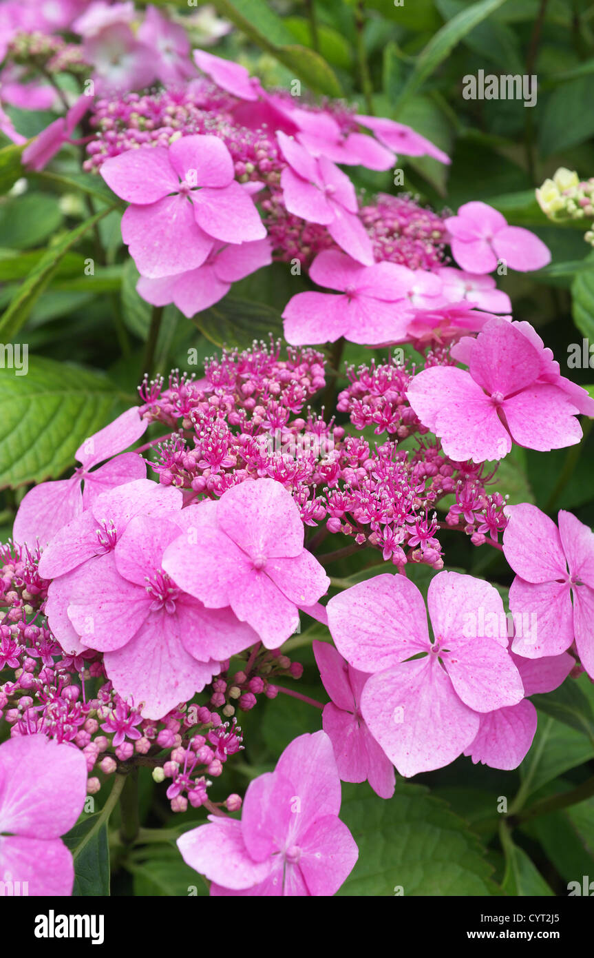 Lilac Hydrangea flowers, England, UK - Stock Image