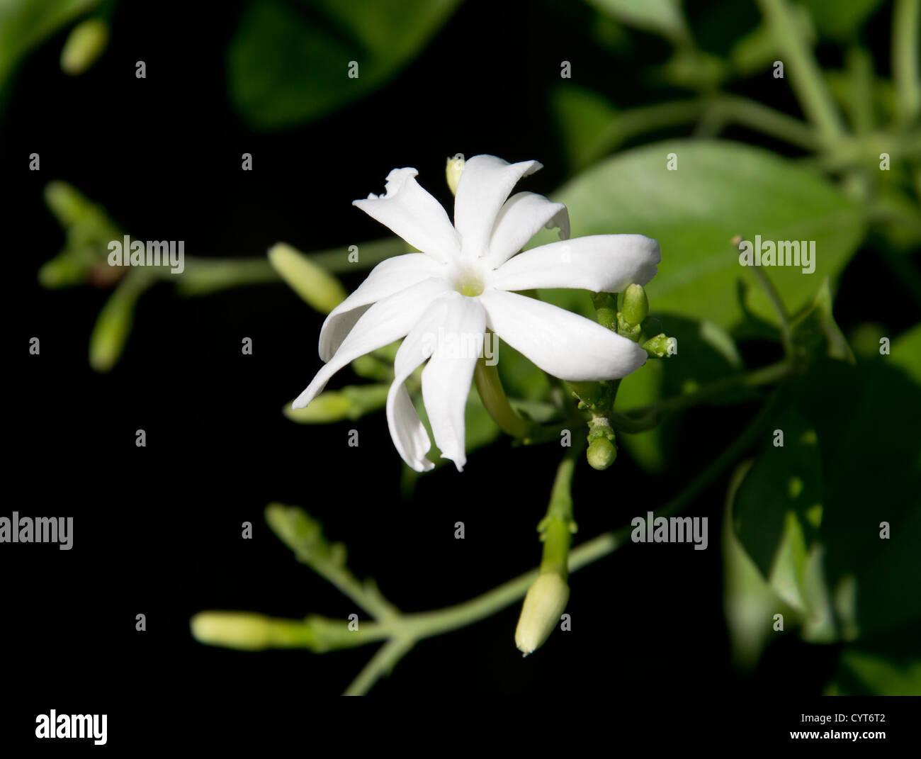 Single Jasmine Flower Stock Photos Single Jasmine Flower Stock