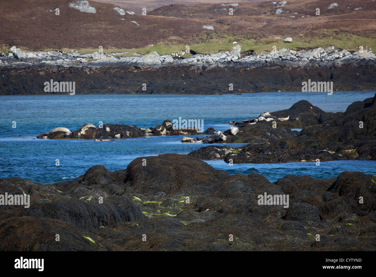 View of seals at 'Seal Point' at Flodaigh on Benbecular, Outer Hebrides, Scotland, UK - Stock Image