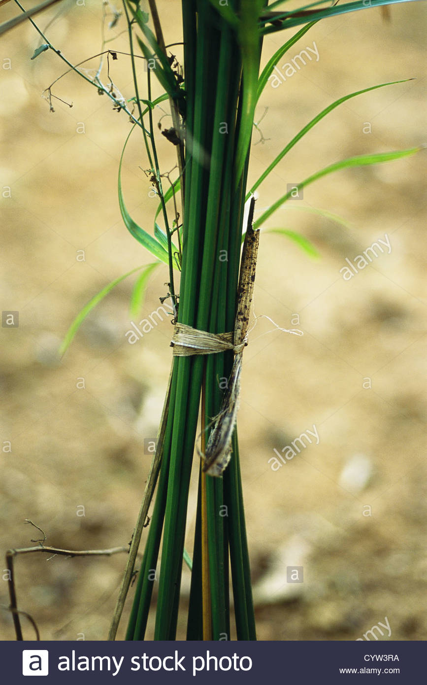 Bundle of stems tied together - Stock Image