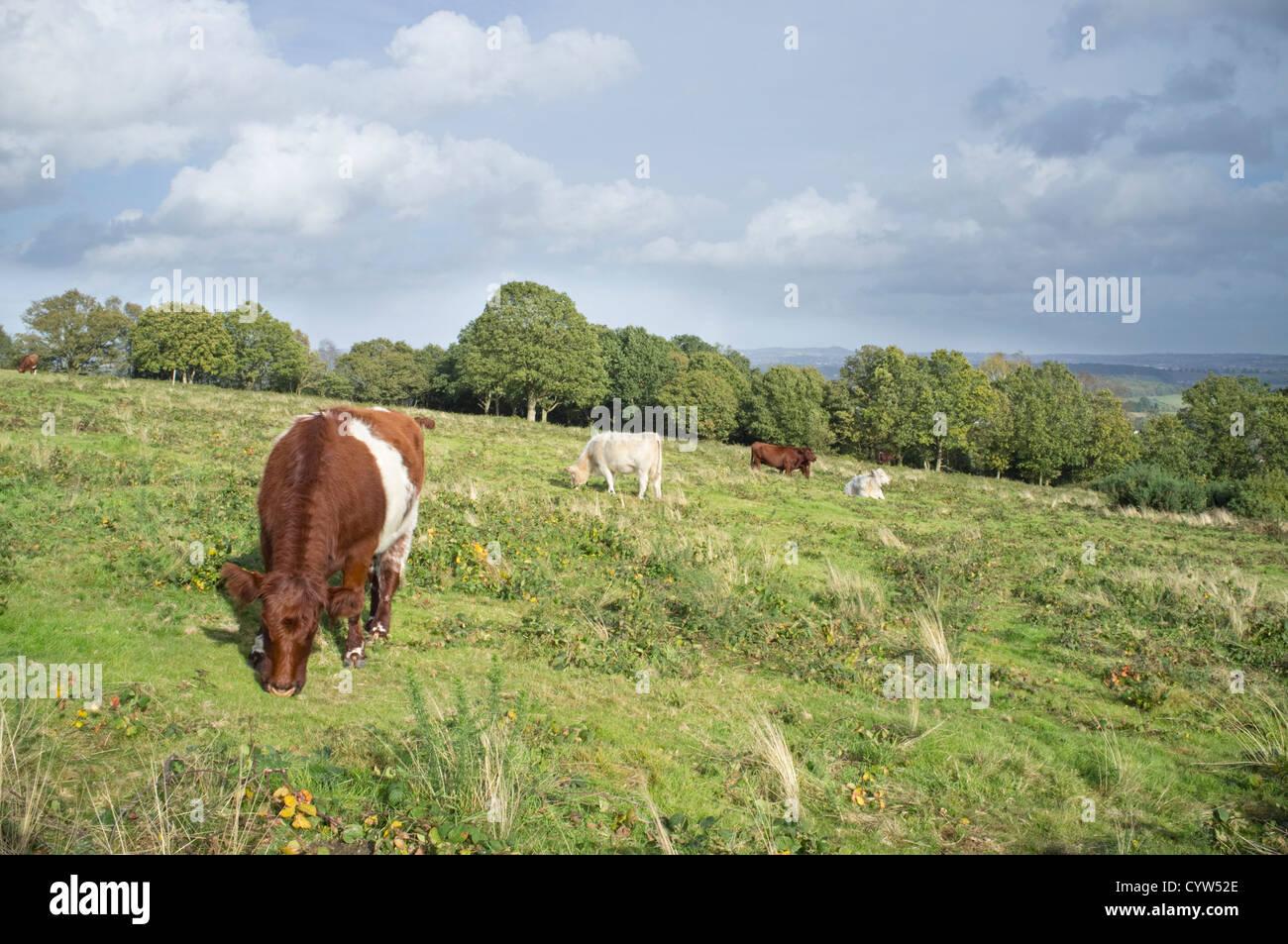 Short Horn cattle grazing on National Trust's Kinver Edge, Staffordshire, England, UK - Stock Image