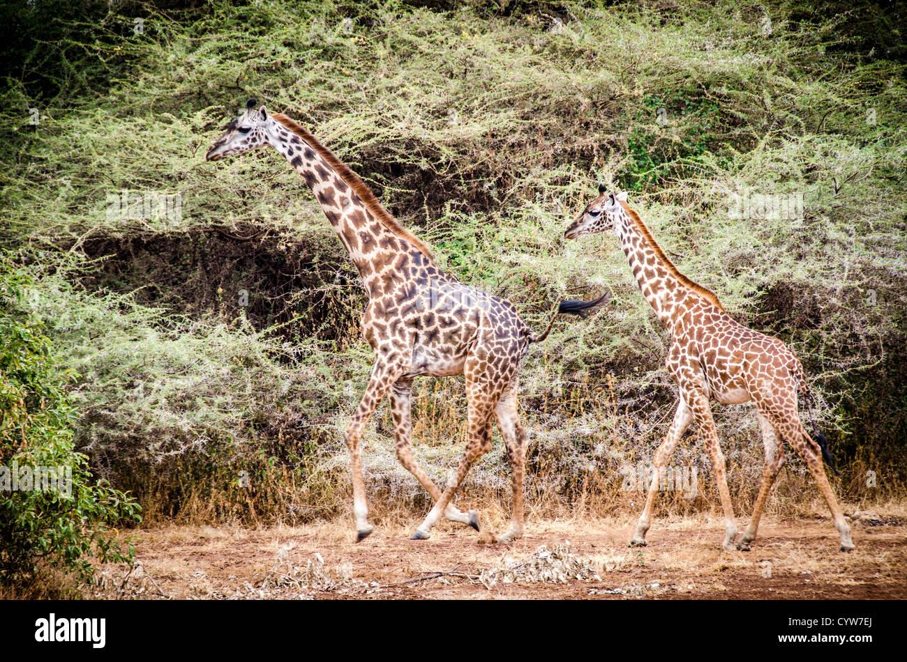 LAKE MANYARA NATIONAL PARK, Tanzania - Two giraffes walk through the bush of Lake Manyara National Park in northern - Stock Image