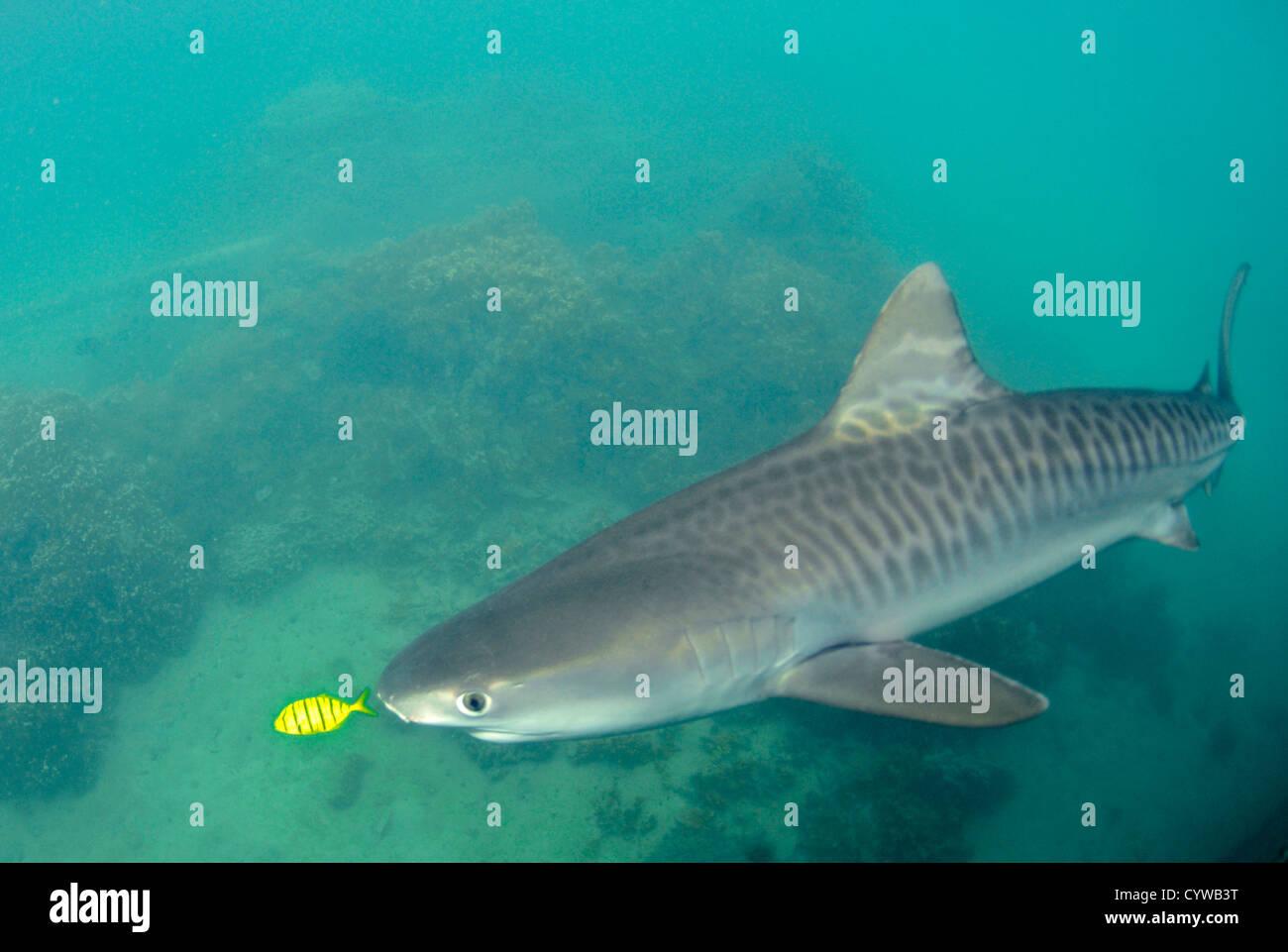 Young tiger shark, Galeocerdo cuvier, accompanied by golden trevally, Gnathanodon speciosus, Kaneohe, Hawaii, USA - Stock Image