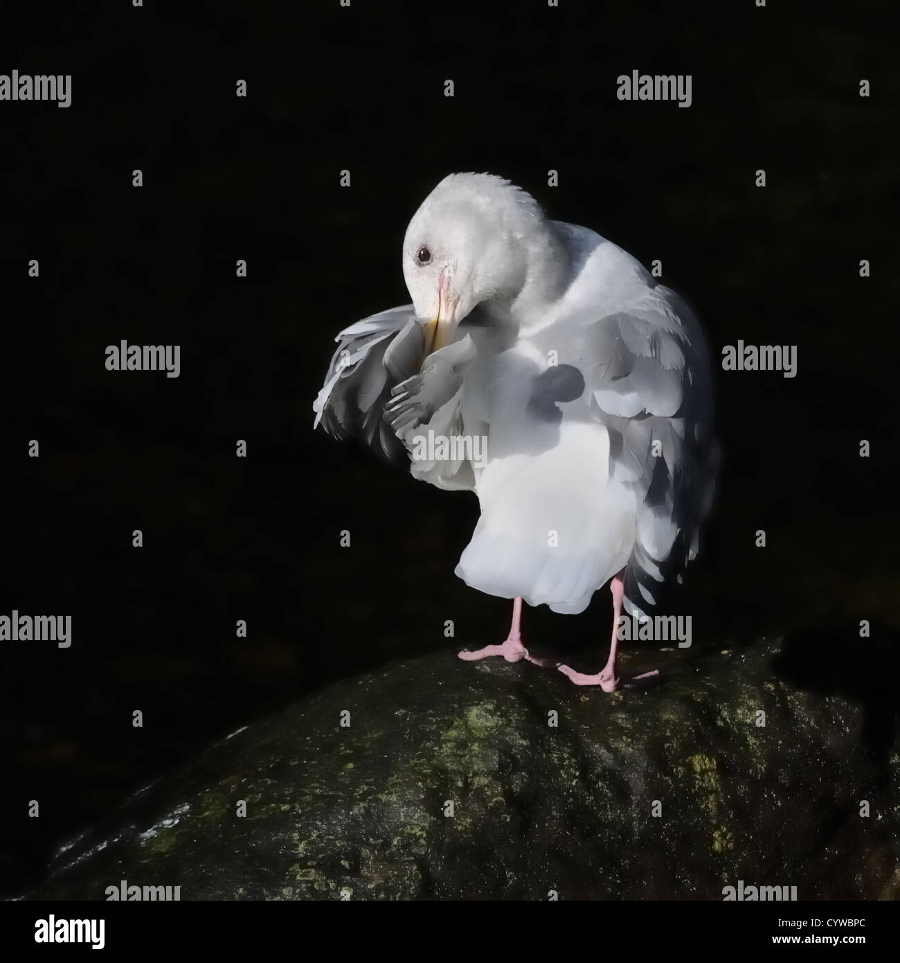 Preening Glaucous-winged Gull. Larus glaucescens. , Courtenay, Vancouver Island, Canada - Stock Image