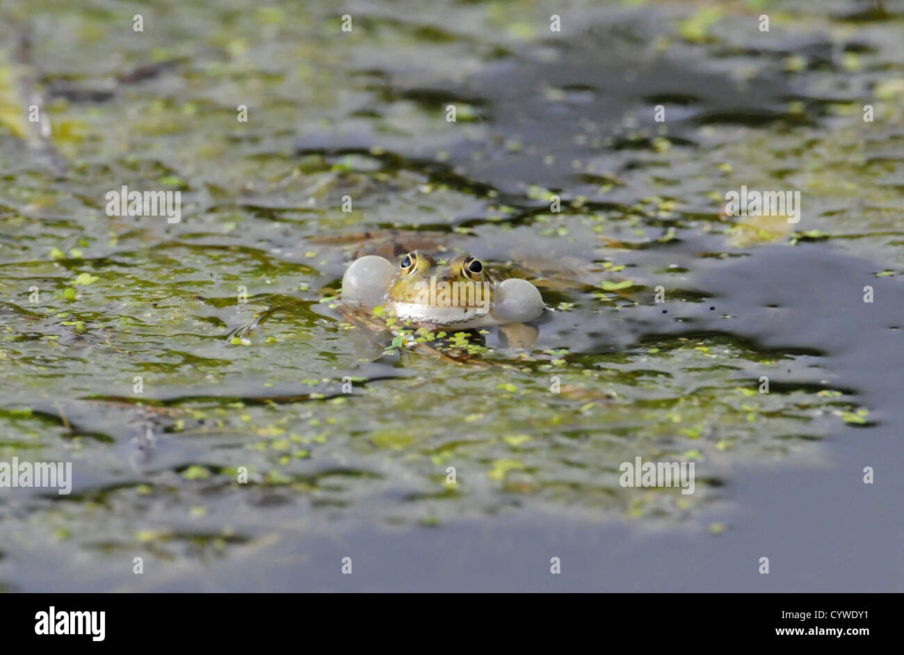 ADULT MALE EDIBLE  FROG, Rana esculenta  IN FULL CALLING DISPLAY WITH INFLATED VOCAL SACS. - Stock Image
