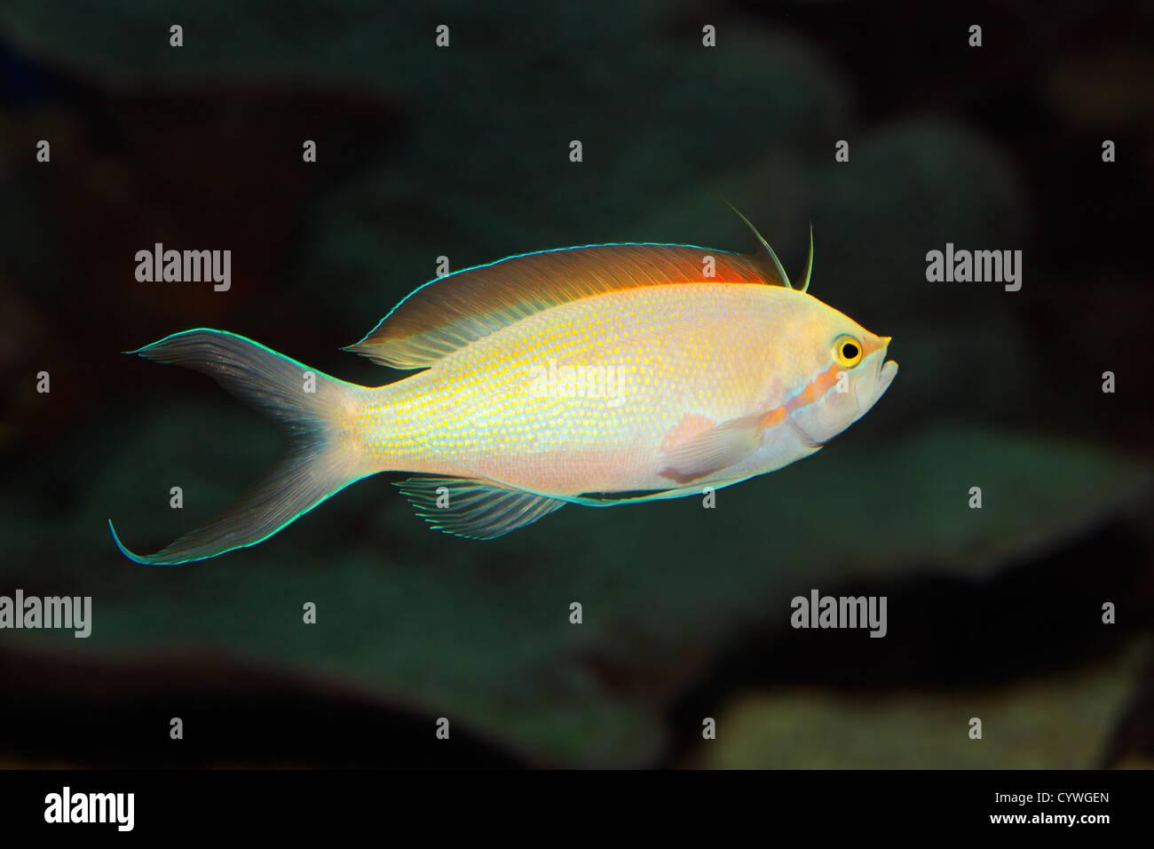 Underwater view of a colorful Anthias fish (Pseudanthias spp.) - Stock Image
