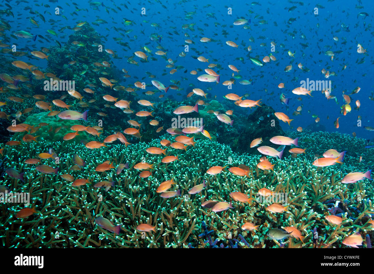 Reef scenic with Acropora corals and scalefin anthiases, Pseudanthias squamipinnis, Komodo Indonesia Stock Photo