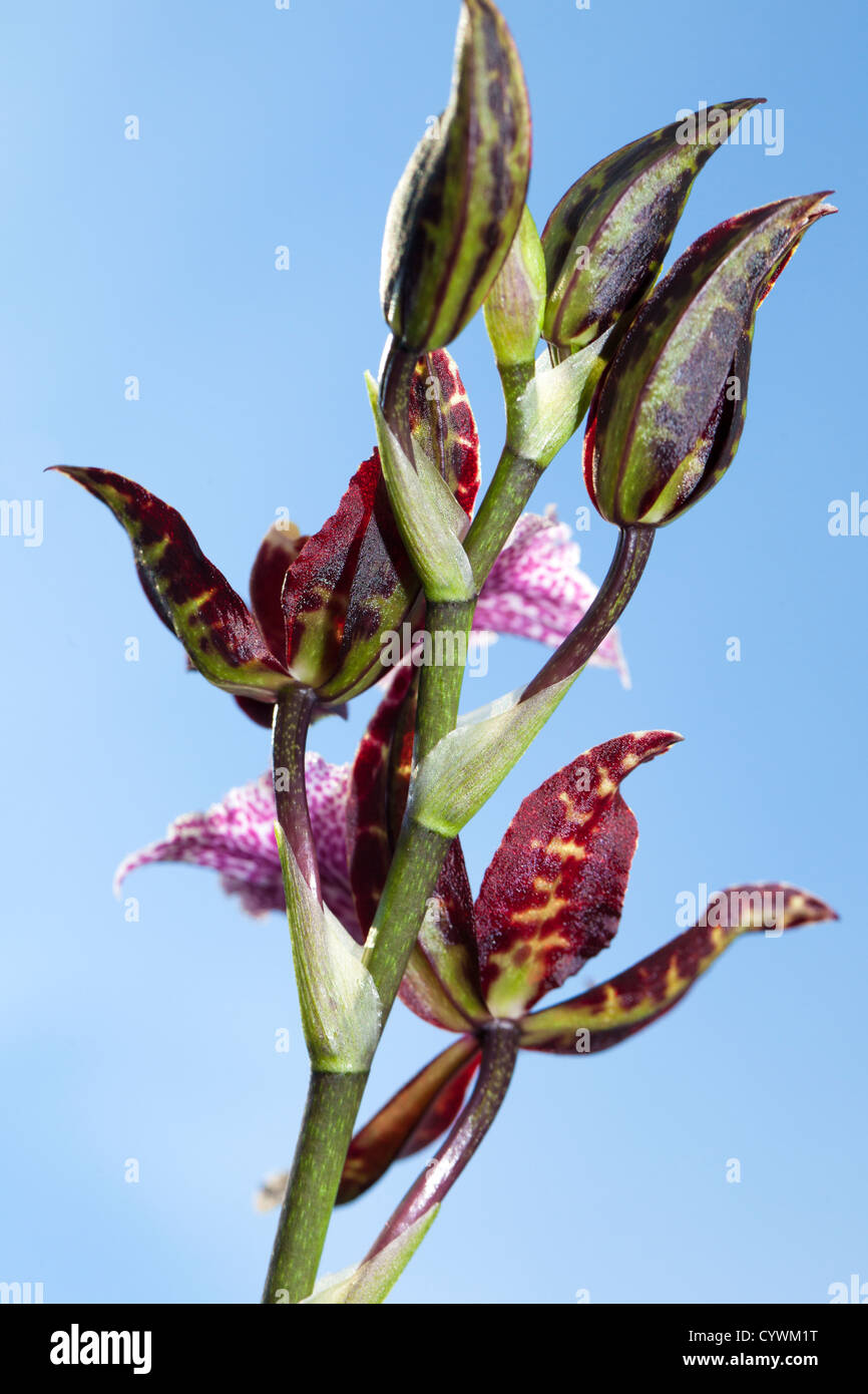 Cambria orchid (Orchidaceae ) - Stock Image