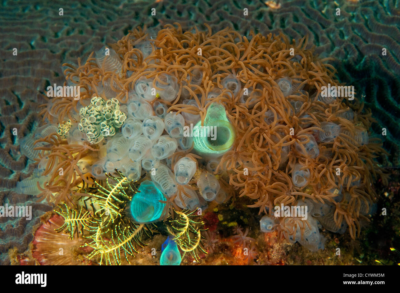 Cluster of ascidians Nusa Kode Island Indonesia - Stock Image