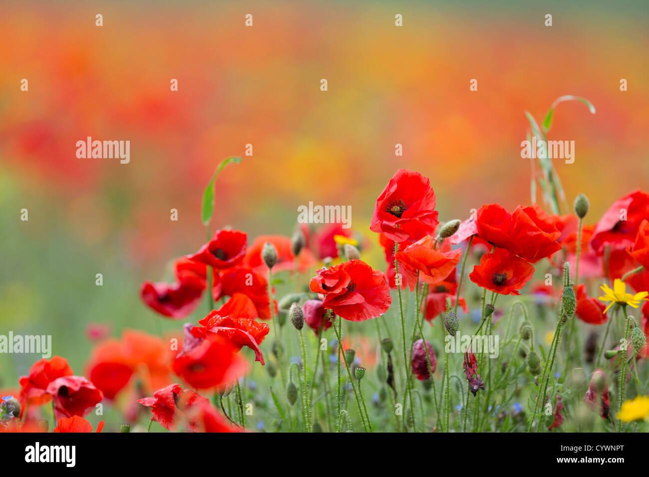Poppies; Papaver rhoeas; West Pentire; Cornwall; UK - Stock Image