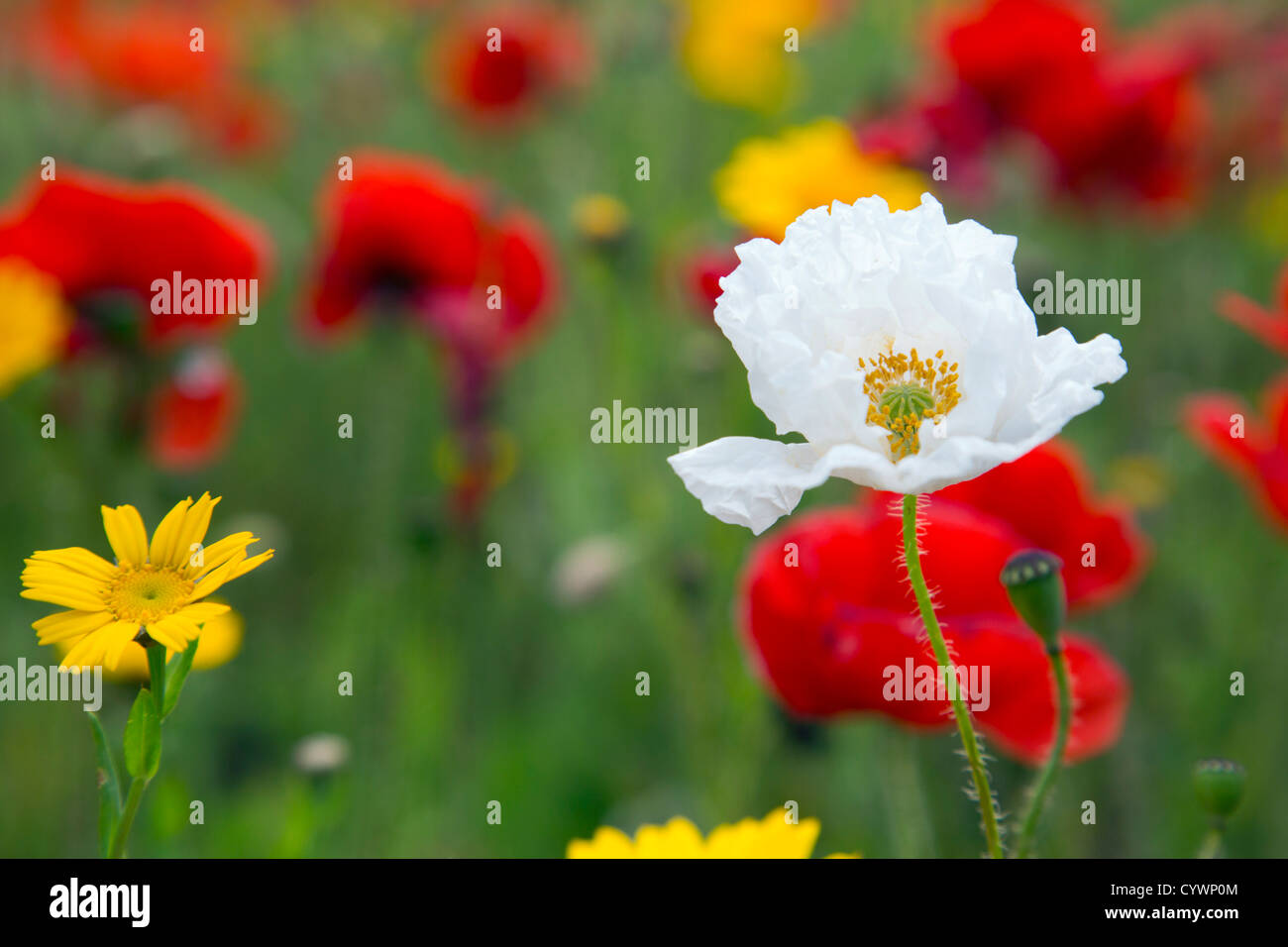 Poppies; Papaver rhoeas; West Pentire; Cornwall; UK; White Poppy - Stock Image
