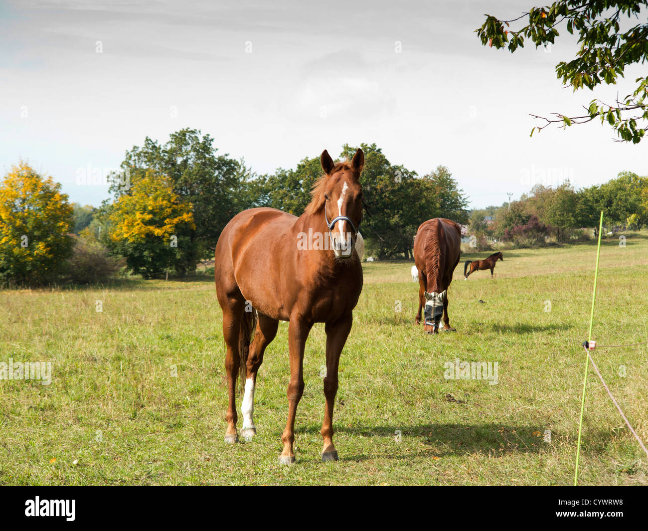 bay horse on pasture - Stock Image