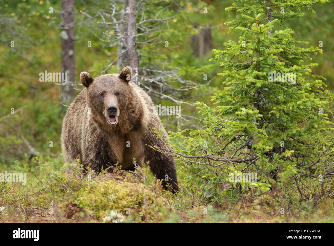 Eurasian Brown Bear (Ursus Arctus Arctus) in East Central Finland. Stock Photo
