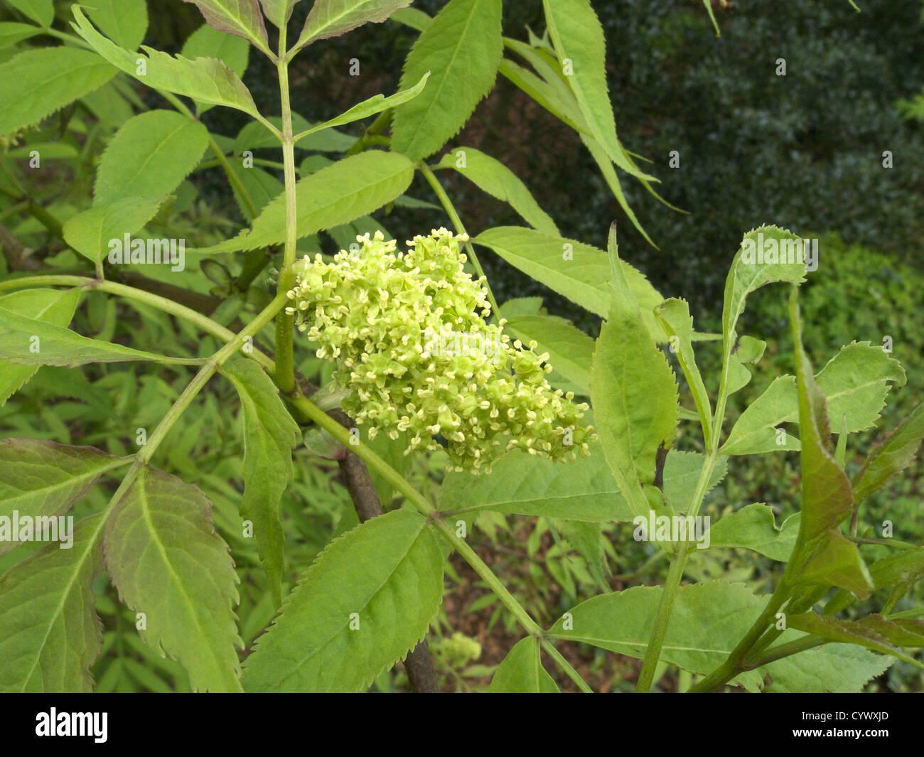 Sambucus nigra 'Aurea' ( Golden Elder ) - Stock Image