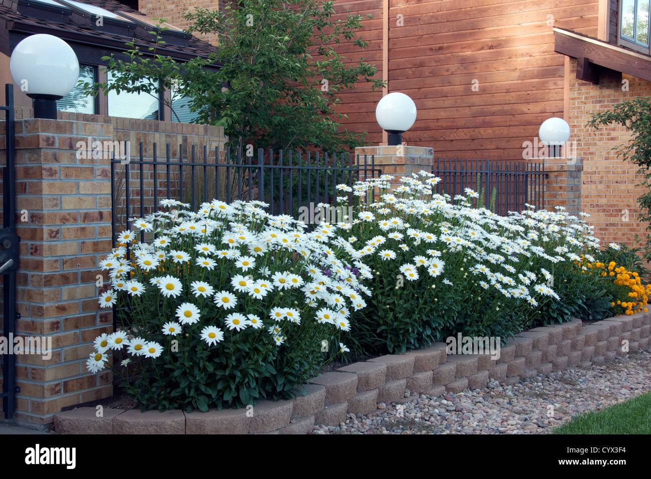 Shasta daisies stock photos shasta daisies stock images alamy shasta daisies growing in a raised bed stock image izmirmasajfo