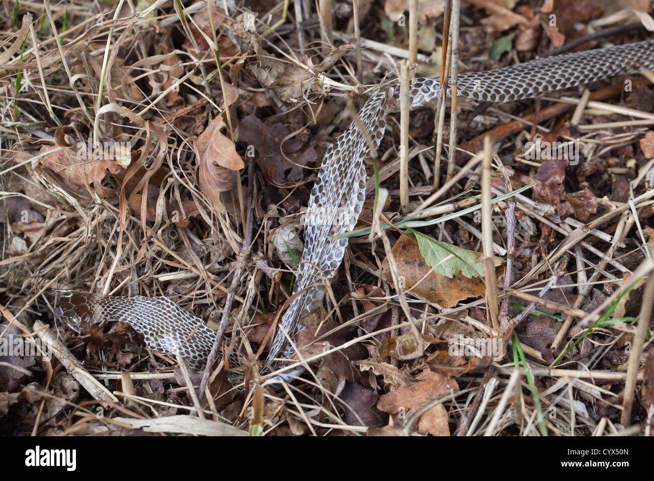Grass Snake (Natrix natrix). En situ section of skin peeled off as snake moved and twisted its body between reed Stock Photo