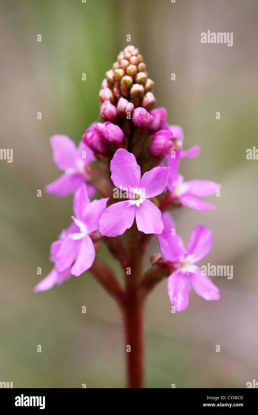 Grass Trigger Plant (Stylidium graminifolium). Bruny Island, Tasmania, Australia. - Stock Image