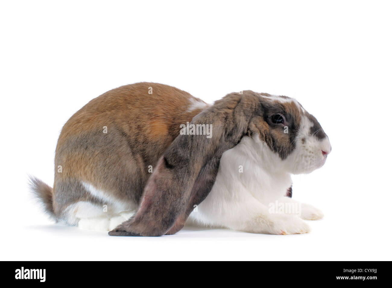 An English Lop Rabbit on white background. - Stock Image